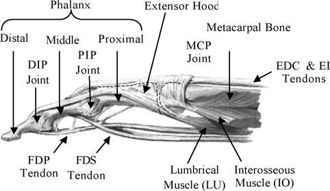 Finger anatomy
